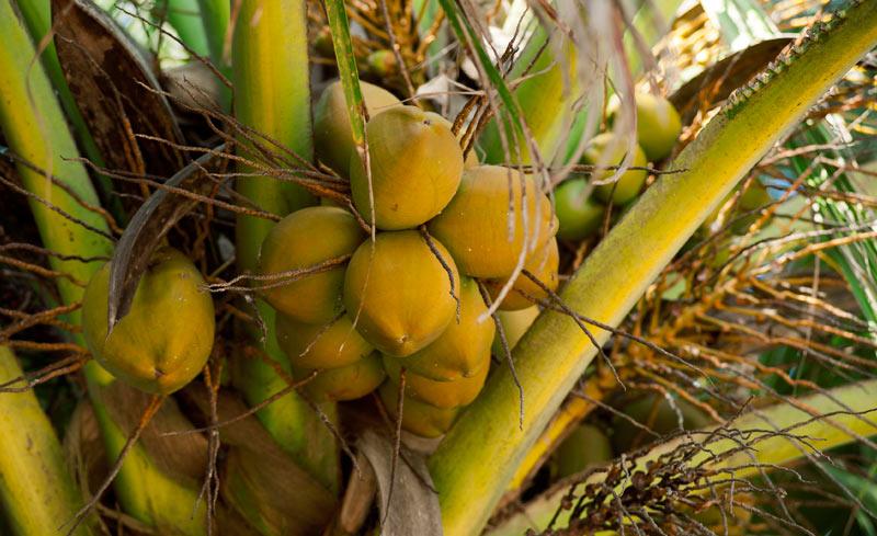 Indi Hair. Extensiones de cabello natural en República Dominicana. Propiedades del aceite de coco ¡para el cuidado de tus extensiones de pelo humano en República Dominicana!